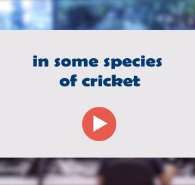in some species of cricket